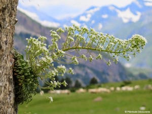 Saxifrage longues feuilles